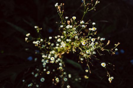 Tiny camomile flowers - free stock photo
