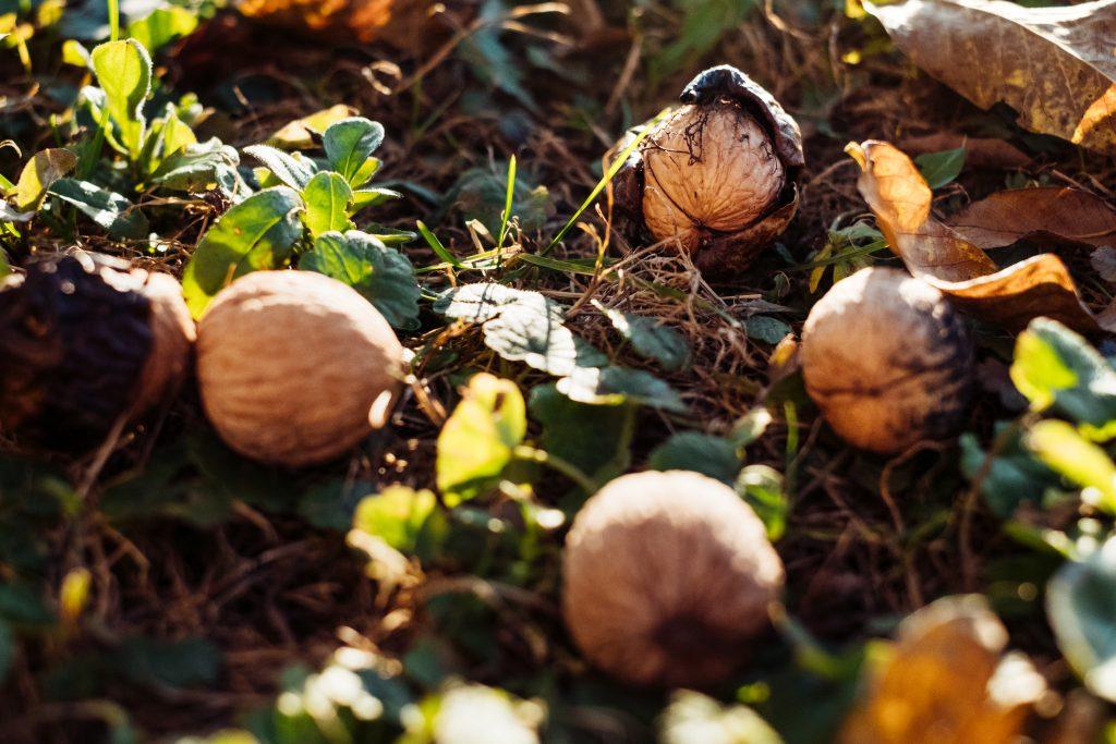 Walnuts on the ground - free stock photo