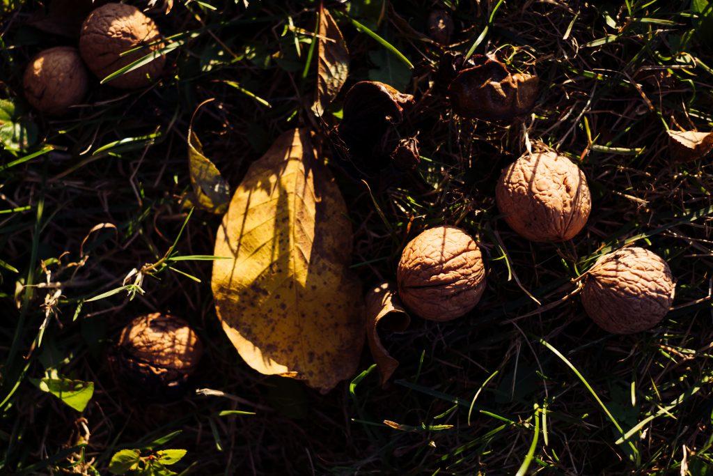 Walnuts on the ground 2 - free stock photo