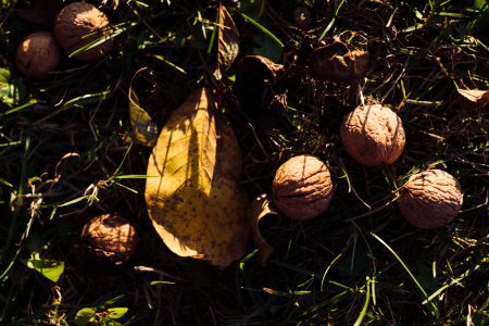Walnuts on the ground 2 - free stock photo