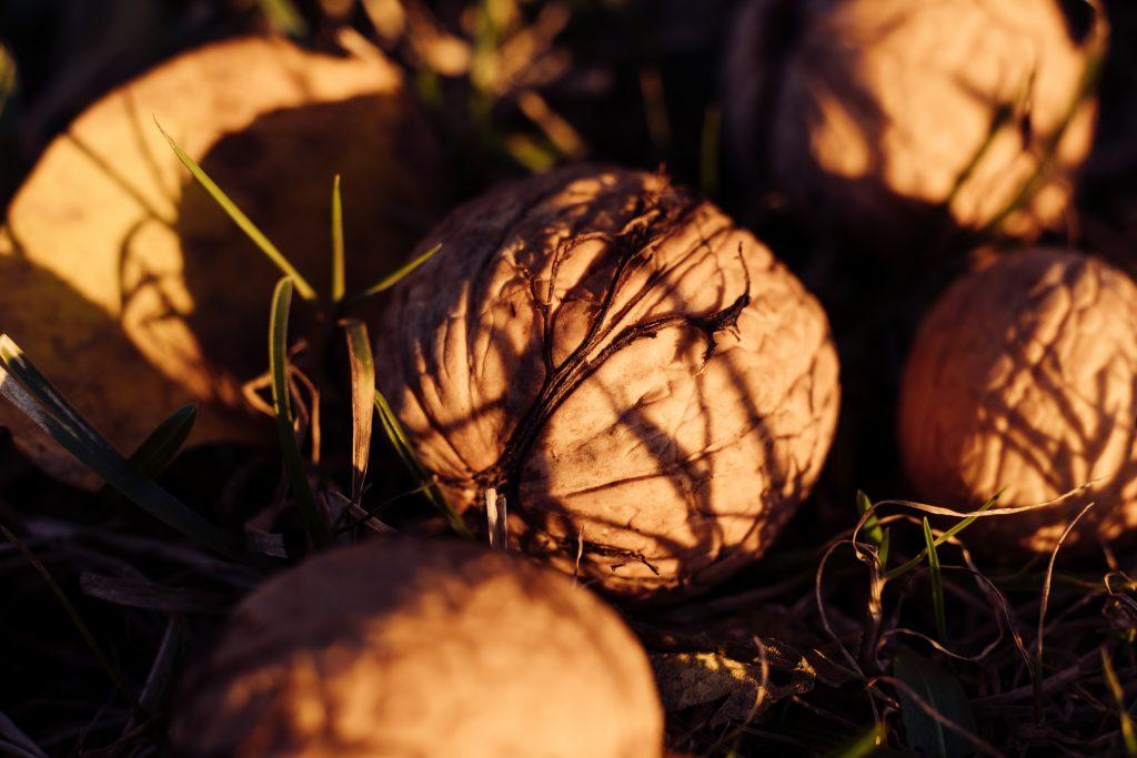Walnuts on the ground closeup - free stock photo