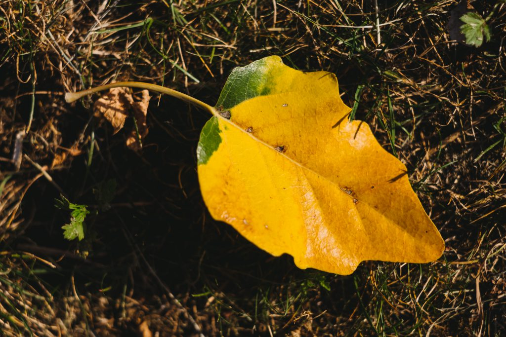 Yellow poplar leaf - free stock photo