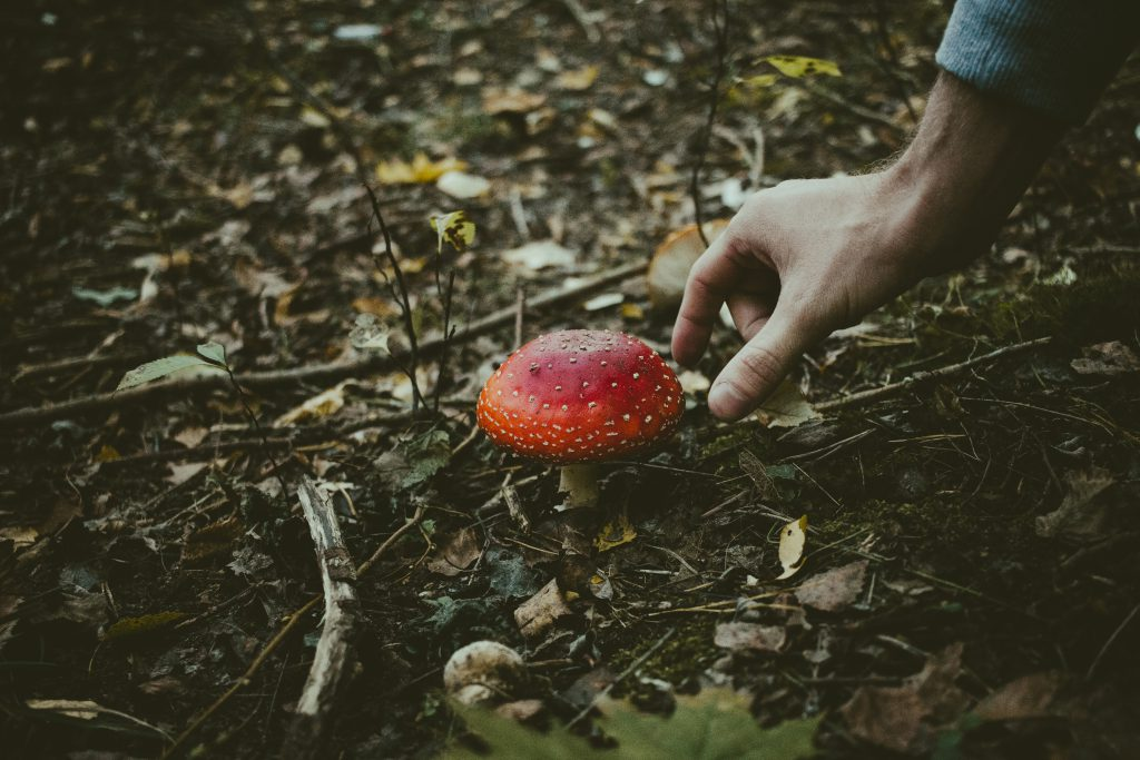 Man about to pick a fly agaric mushroom - free stock photo