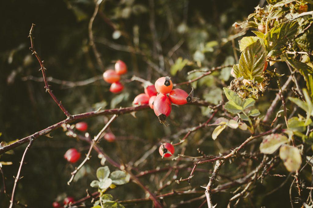 Rosehips on a dog rose bush - free stock photo