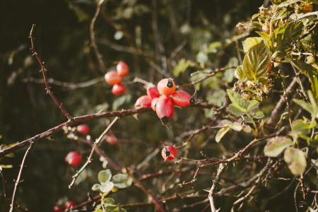 Rosehips on a dog rose bush - free stock photo
