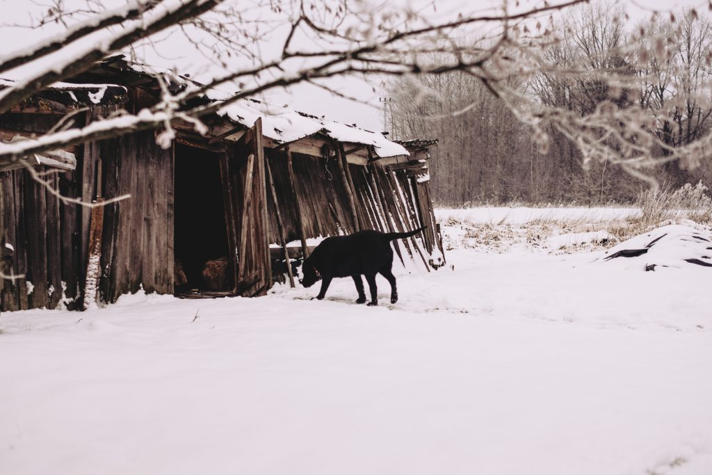 A dog walking towards a wooden shed in the countryside 2 - free stock photo