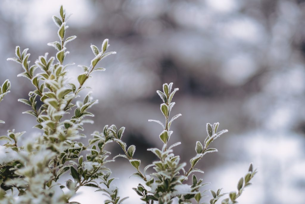 Frosted boxwood bush - free stock photo