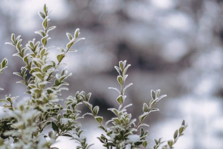 Frosted boxwood bush - free stock photo