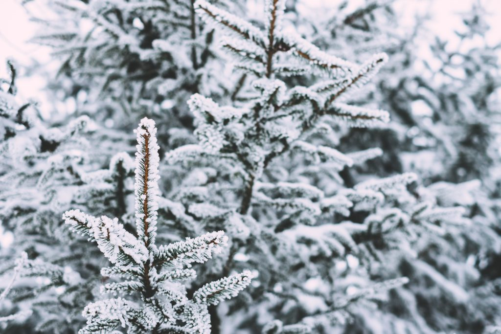 Frosted spruce 2 - free stock photo