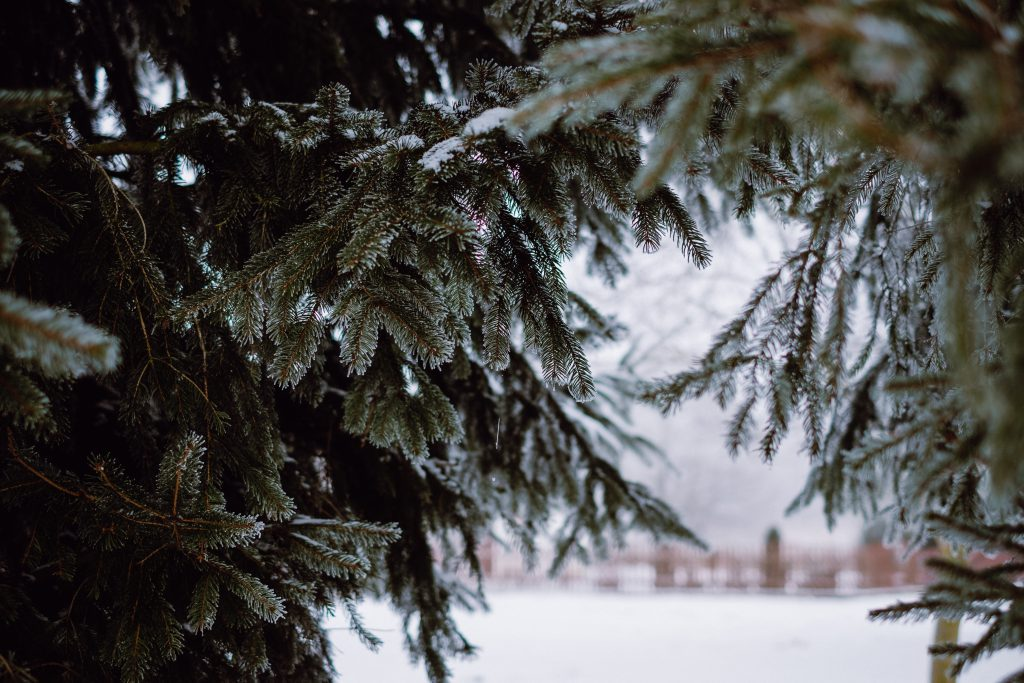 Frosted spruce 3 - free stock photo
