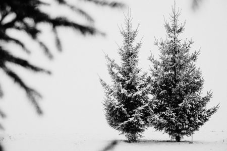 Snow covered spruce in black and white - free stock photo