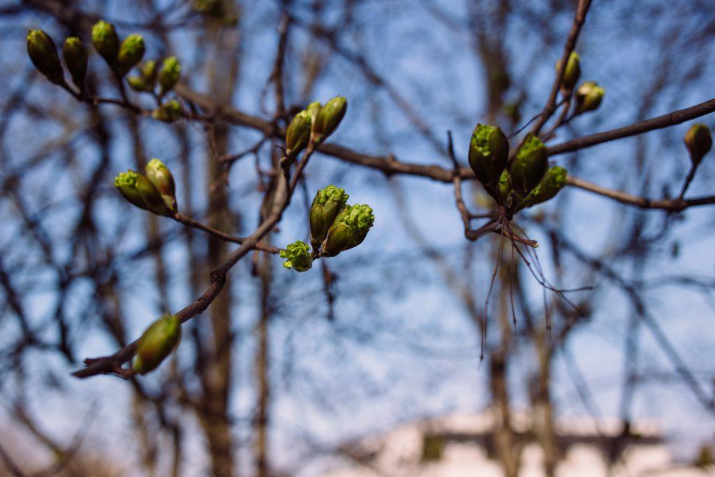 Maple tree buds - free stock photo