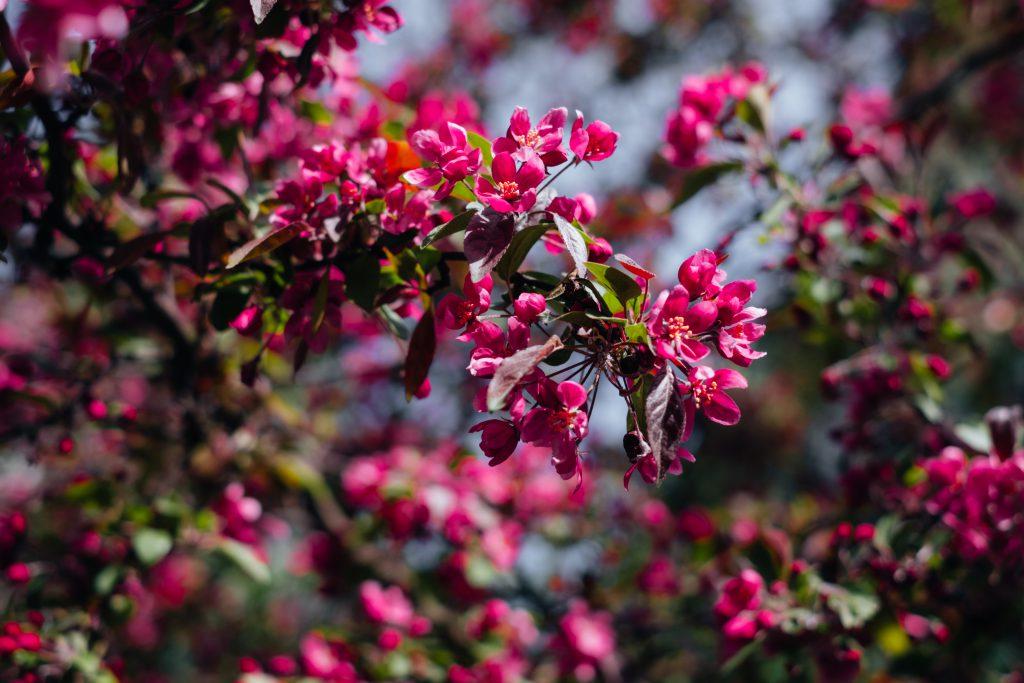 Pink tree blossom 4 - free stock photo