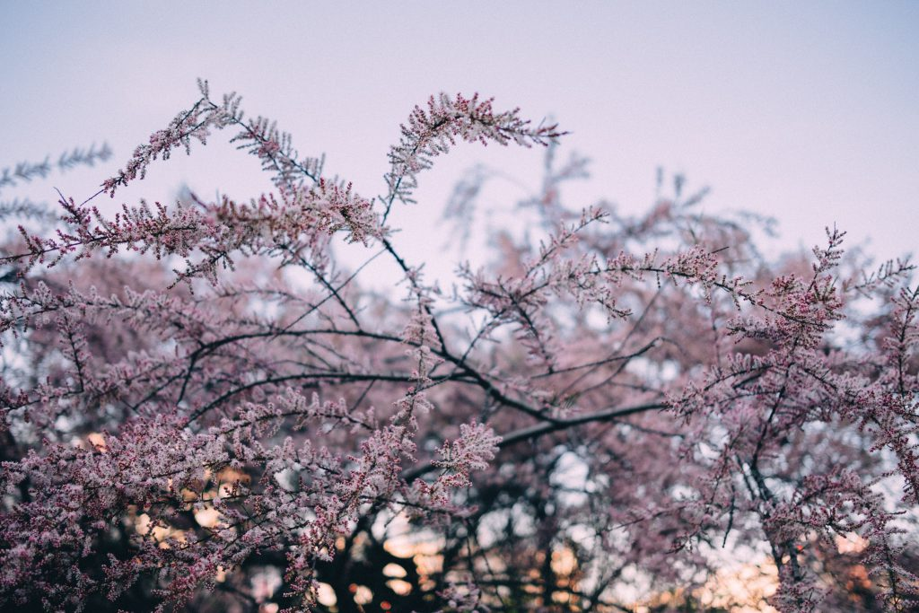 Redbud tree blossom 3 - free stock photo