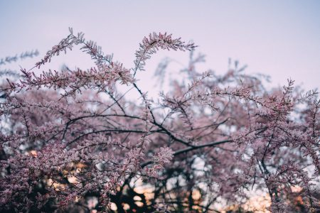 Redbud tree blossom 3 - free stock photo
