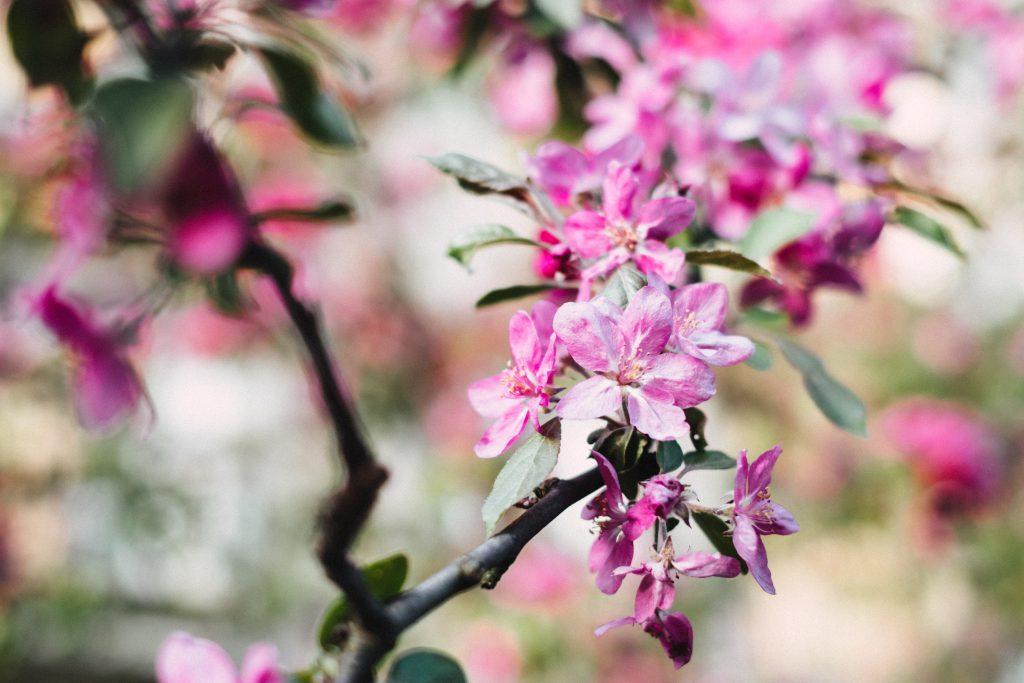Tree blossom 4 - free stock photo