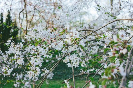 White tree blossom 5 - free stock photo