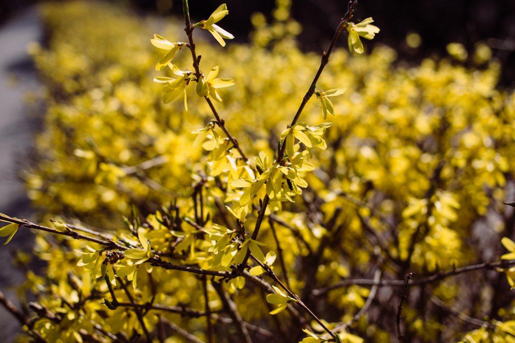 Yellow flowers 2 - free stock photo