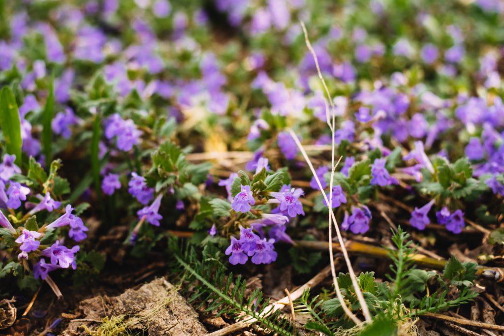 Common bugloss flowers 3 - free stock photo