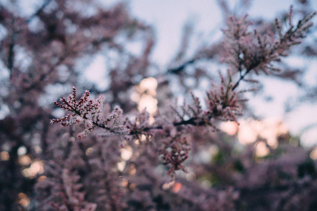Redbud tree blossom 4 - free stock photo