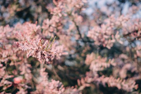 Redbud tree blossom 5 - free stock photo