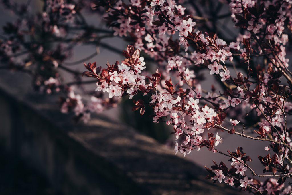 Cherry tree blossom - free stock photo