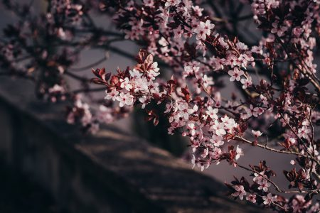 Cherry tree blossom - free stock photo