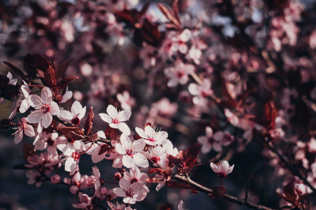 Cherry tree blossom 2 - free stock photo