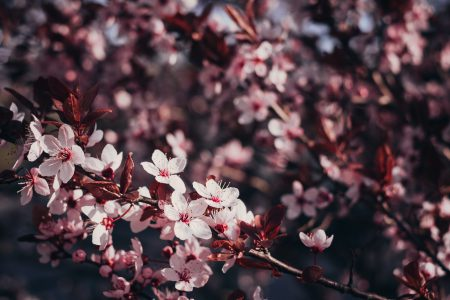 Cherry tree blossom 2 - free stock photo