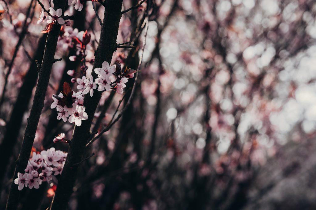Cherry tree blossom 3 - free stock photo
