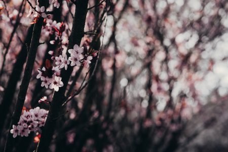 Cherry tree blossom 3 - free stock photo