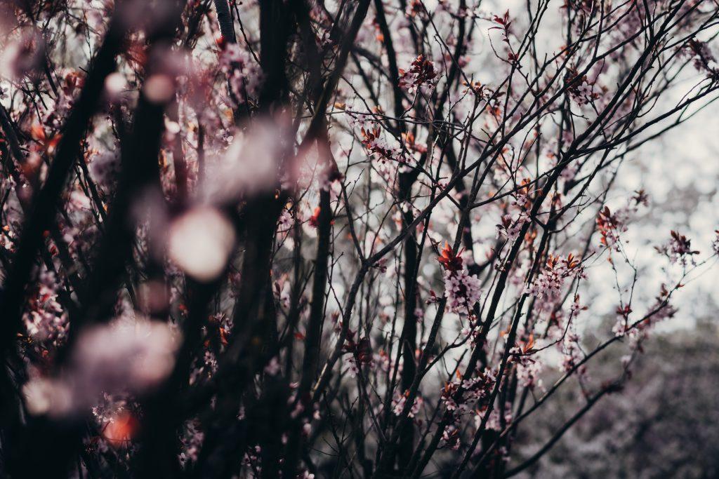 Cherry tree blossom 4 - free stock photo
