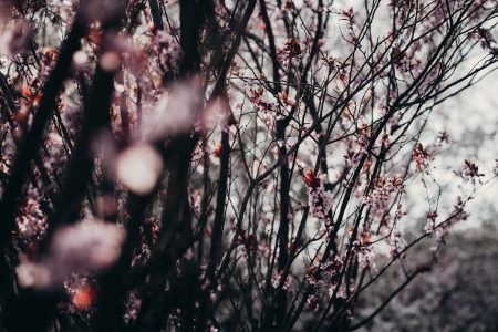 Cherry tree blossom 4 - free stock photo