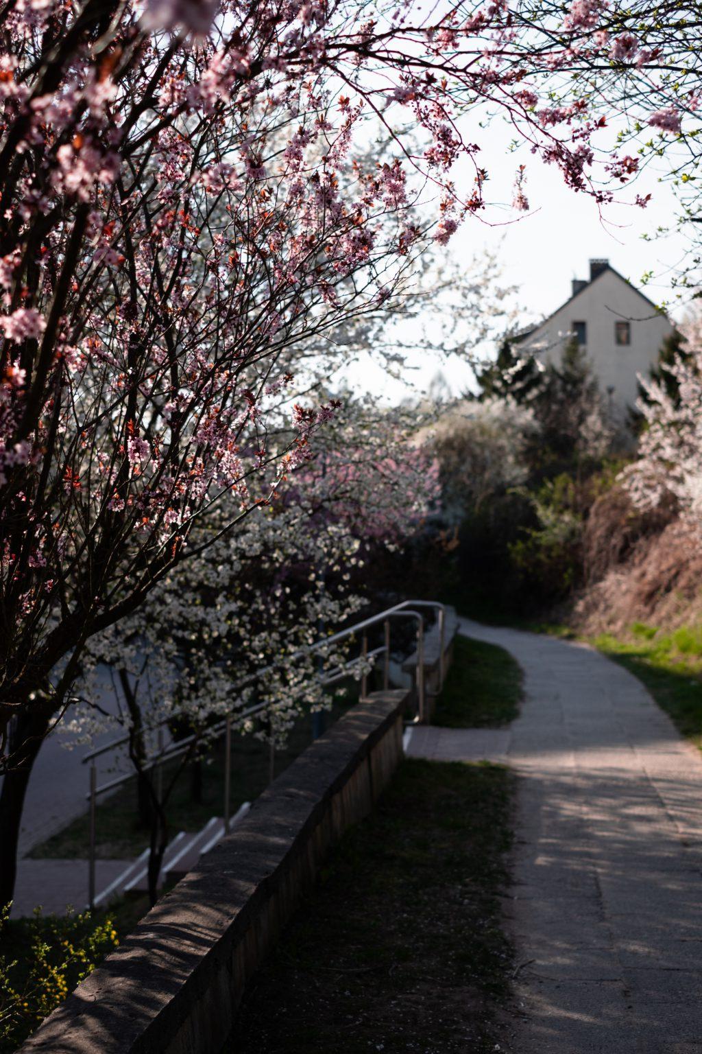 Cherry tree blossom 5 - free stock photo