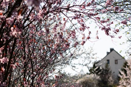 Cherry tree blossom 5 - free stock photo