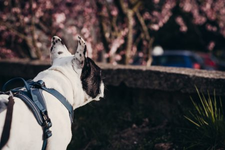 French Bulldog in a harness - free stock photo