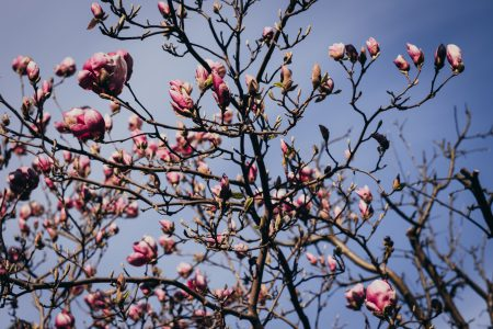 Magnolia tree blossom - free stock photo