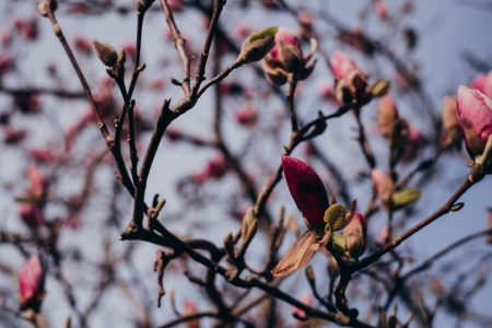 Magnolia tree blossom 2 - free stock photo