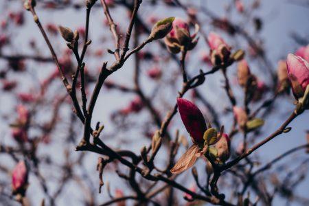 Magnolia tree blossom 2 - free stock photo