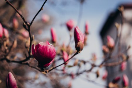 Magnolia tree blossom closeup - free stock photo