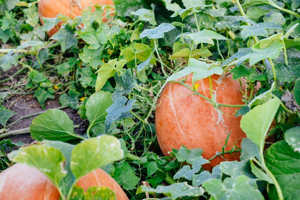 Big orange pumpkins in the garden - free stock photo