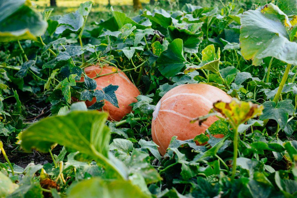 Big orange pumpkins in the garden 2 - free stock photo