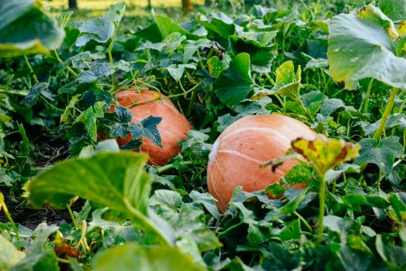 Big orange pumpkins in the garden 2 - free stock photo