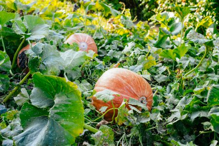 Big orange pumpkins in the garden 3 - free stock photo