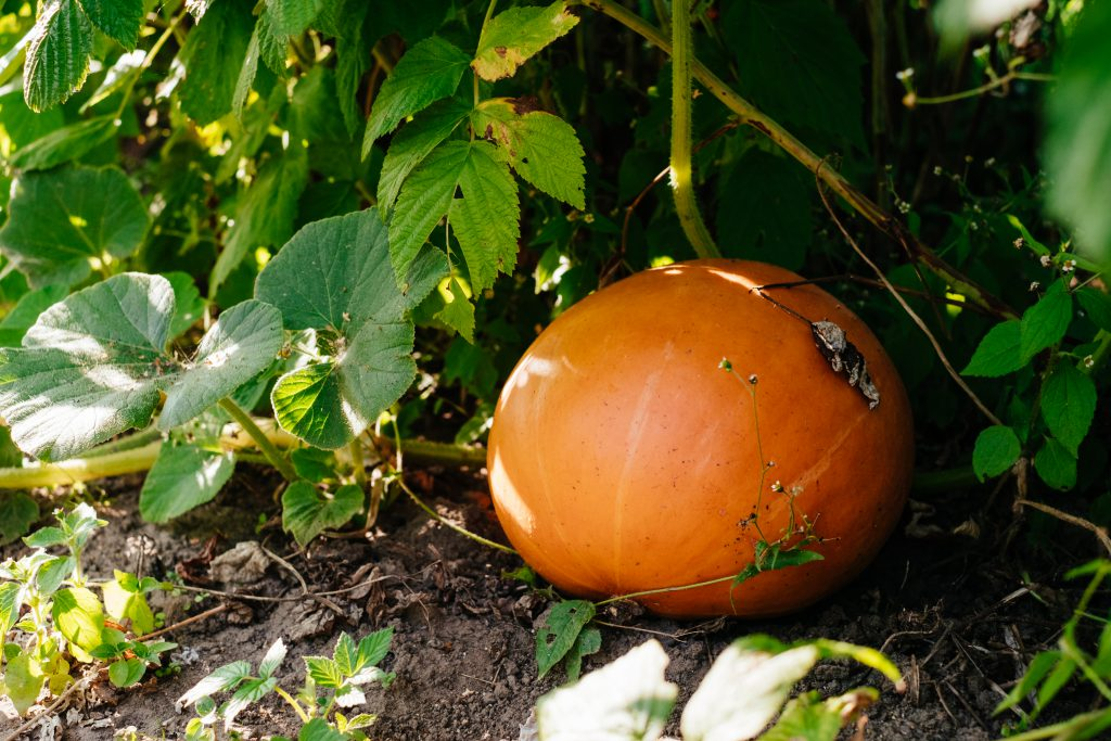 Orange pumpkin in the garden - free stock photo