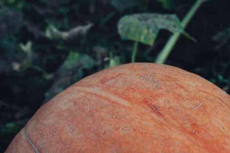 Orange pumpkin in the garden closeup faded - free stock photo