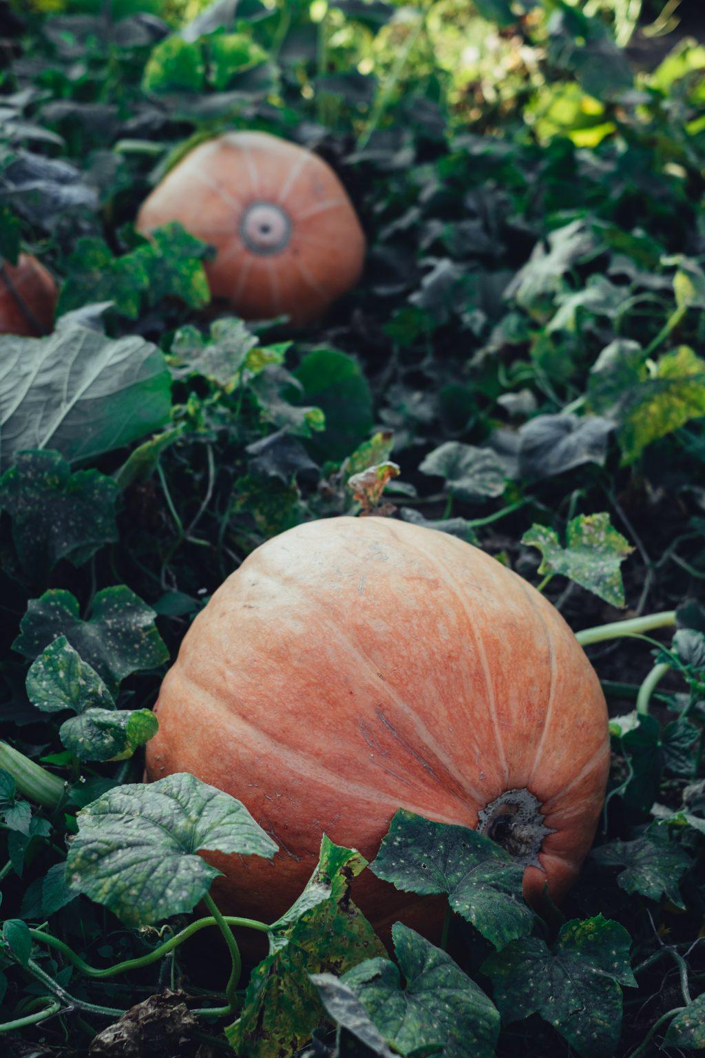 Orange pumpkins in the garden faded - free stock photo