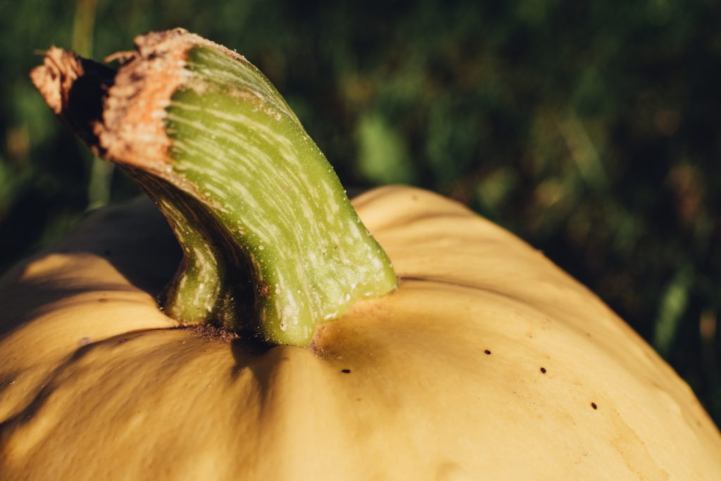 Pale yellow pumpkin closeup 3 - free stock photo