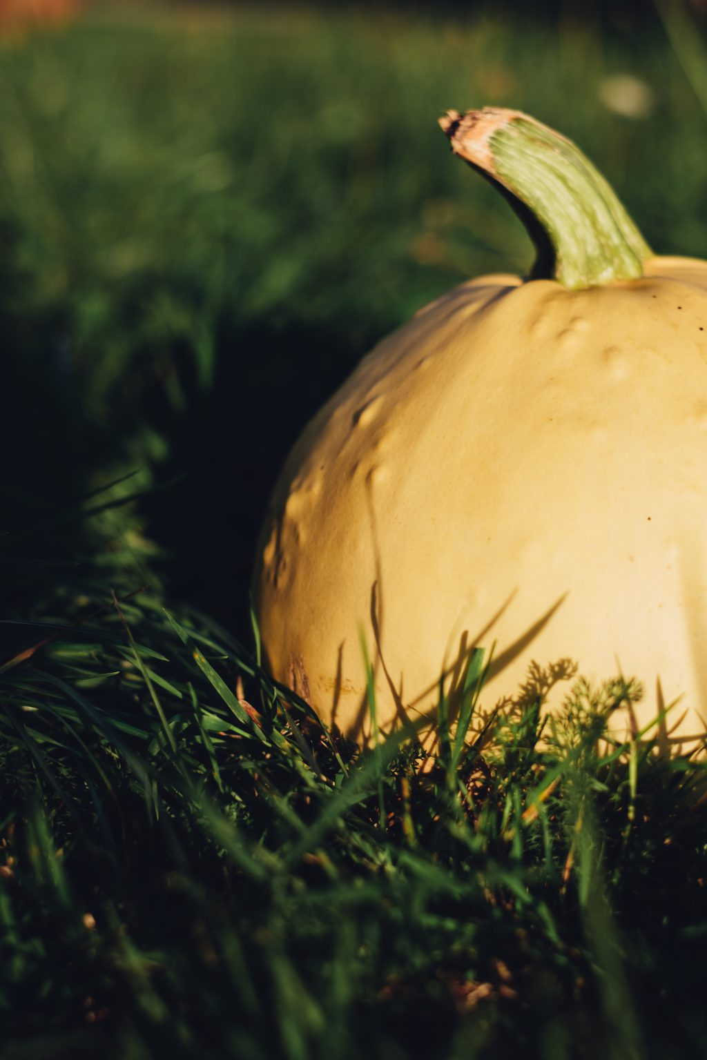 Pale yellow pumpkin on the grass 5 - free stock photo