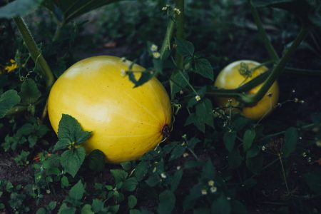 Yellow pumpkins in the garden faded - free stock photo